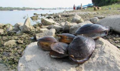 кинеске језерске шкољке на обали Дунава