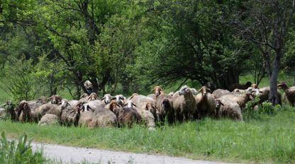 Овцете са повече от жителите.на село Бела, община Димово..