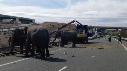Слонове стоят на шосето, след като камион на циркова трупа катастрофира в Испания.