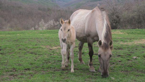 От няколко години десетки коне, наследници на древния вид тарпан,