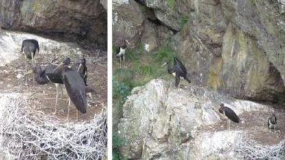 """Черните щъркели в Национален парк """"Централен Балкан"""""""