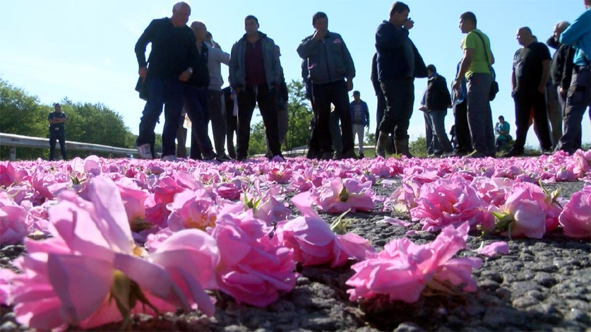 Rose producers from Kazanlak blocks for a while the highway to Stara Zagora and poured out sacs of rose petals on the round in sign of protest against lo purchase prices