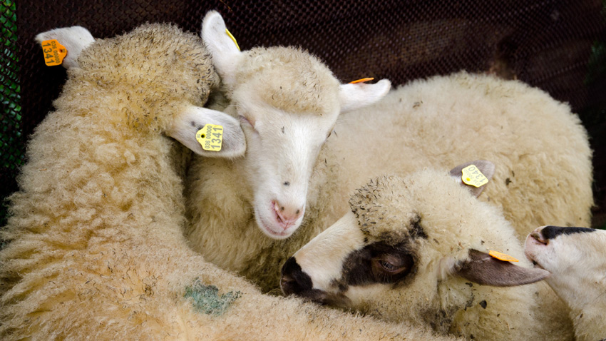 Orta Koca balkan koyunu