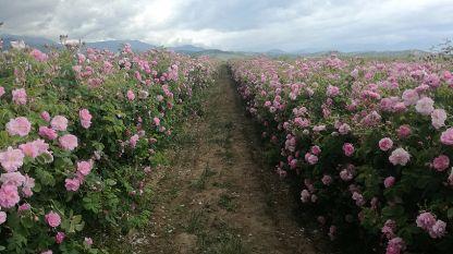 България е едно от малкото места в света, които са облагодетелствани с перфектни условия за отглеждане на маслодайна роза