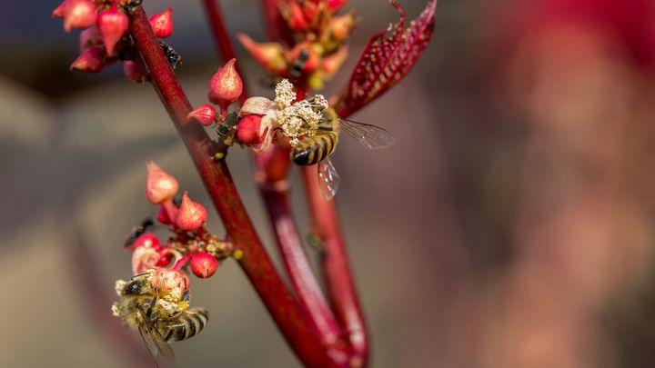 Целта на почти пълната забрана за употреба на три вида неоникотиноиди е защита на пчелите.