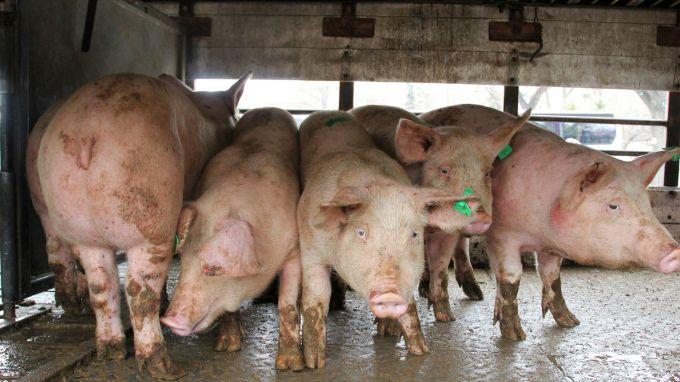 Около 30% от индустриалното свиневъдство в България вече е унищожено