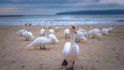 Лебеди на Варненския бряг