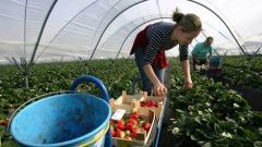 Българка бере ягоди в парник в южна Испания
