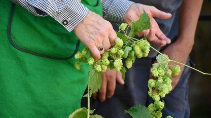 Цветовете на хмела са основна суровина за пивопроизводството