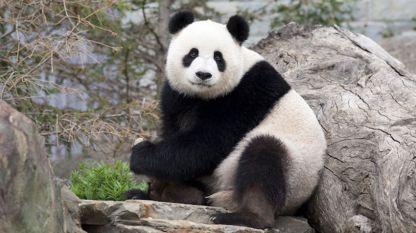 Пандата остава един от най-застрашените бозайници на планетата ни.