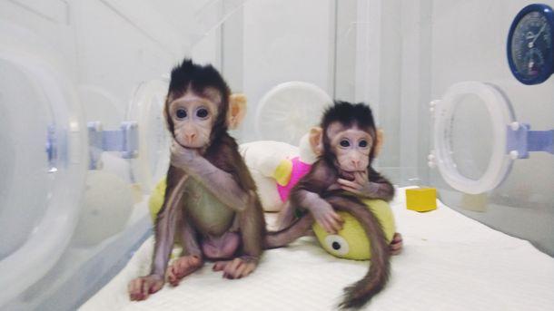 Клонираните дългоопашати макаци Чжун Чжун и Хуа Хуа са на 8 и 6 седмици