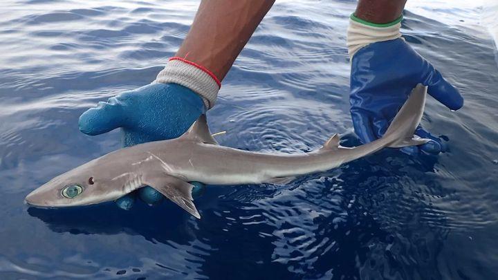 Дължината на тези акули не превишава 70 см.