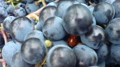 Повече и по-качествено грозде берем тази година