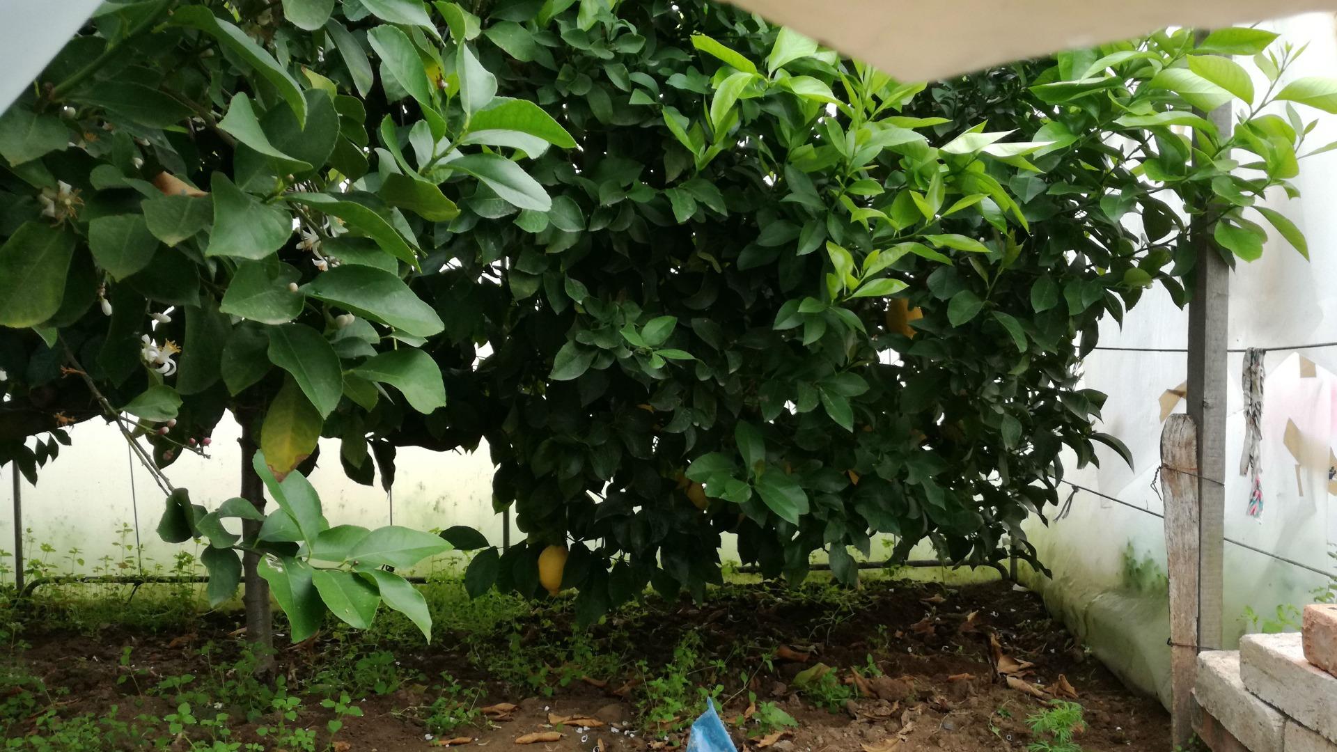 65-годишно лимоново дърво на Асен Керанов от село Марикостиново