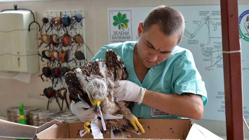 """В Клиниката към Спасителния център за диви животни """"Зелени Балкани"""" пристига поредният """"пациент"""" – малък, паднал от гнездото, царски орел."""
