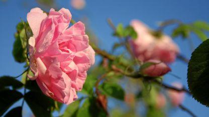 По света има над 200 сорта рози, като в България за производството на розово масло се използва Казанлъшката роза, която е получена от Роза Дамасцена.