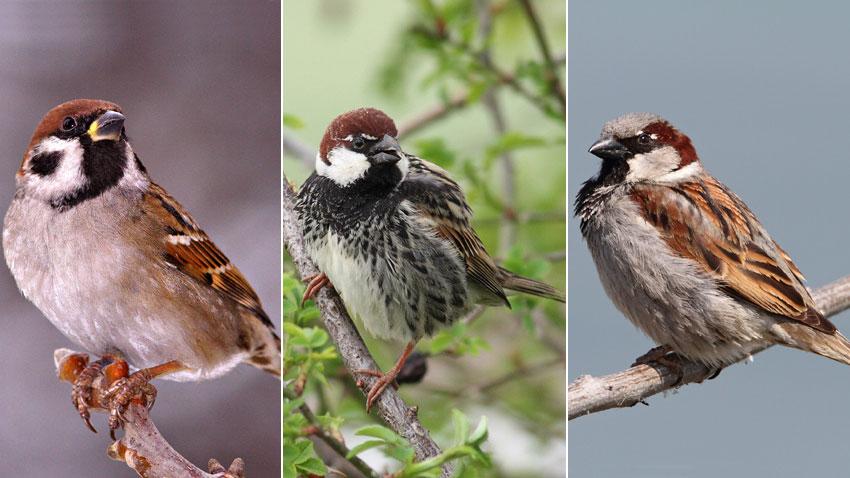 Най-разпространените три вида врабчета у нас – домашното, испанското и полското (отляво надясно).
