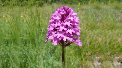 """Орхидея анакамптис пирамидалис в Природен парк """"Сините камъни"""""""
