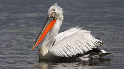 Къдроглав пеликан