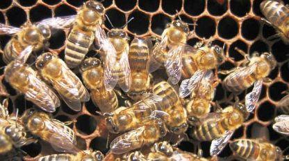 Спират употребата на пестицид заради висока смъртност при пчелите
