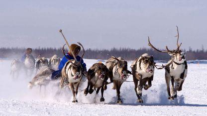 Сибирска шейна, теглена от северни елени