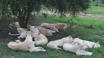 Прайд бели лъвове в Лайънс парк