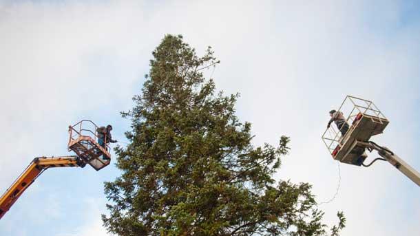 Работници монтират вече светлините и украсата на елхата.