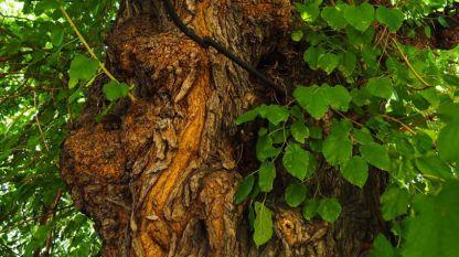 Pema më e vjetër është mani 650 vjeçare.