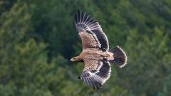Царски орел в Сакар