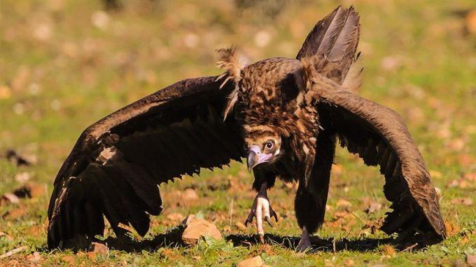 Черен лешояд, снимка: Зелени Балкани