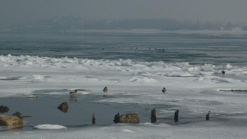 Ято патици по ледения бряг на Дунав радва видинчани.