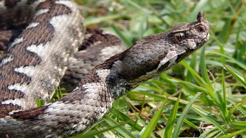 Ако не се чувстват застрашени, змиите няма да ви нападнат, твърдят специалисти