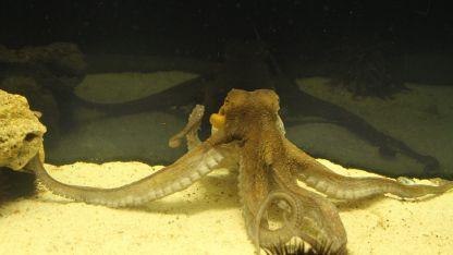 Единият от октоподите, умрял заради хулиганската проява