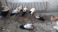 20 измръзнали щъркели, приютени на топло в гаража на община Дулово.