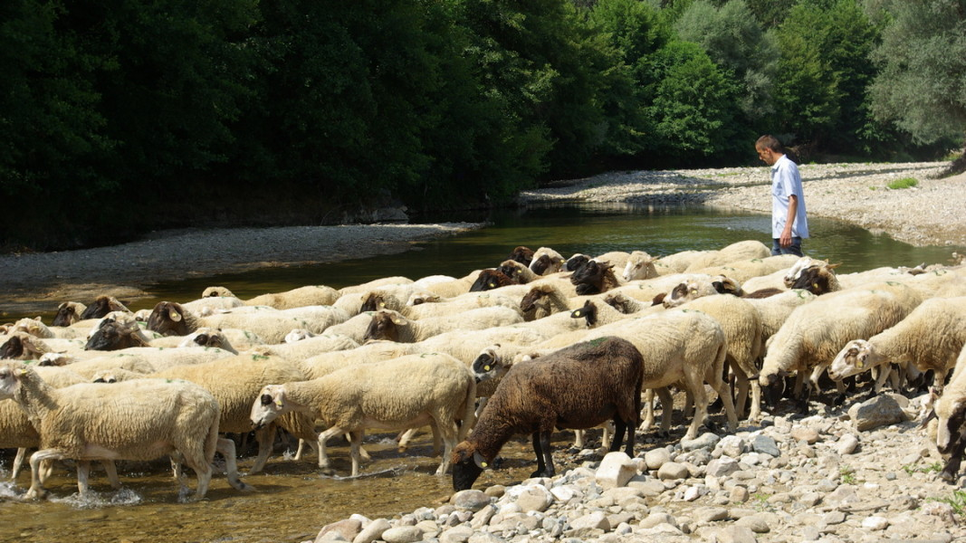 Приложение може да намери вълната на едва 40-50 000 овце у нас  Снимка: БГНЕС