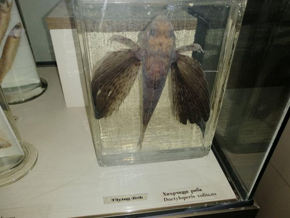 Препарирана хвърчаща риба       Снимка: Латинка Светозарова