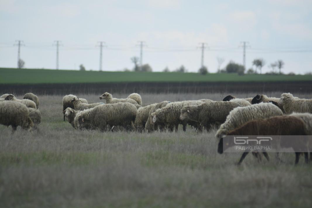 Стадо овце в село Искър, Варненско