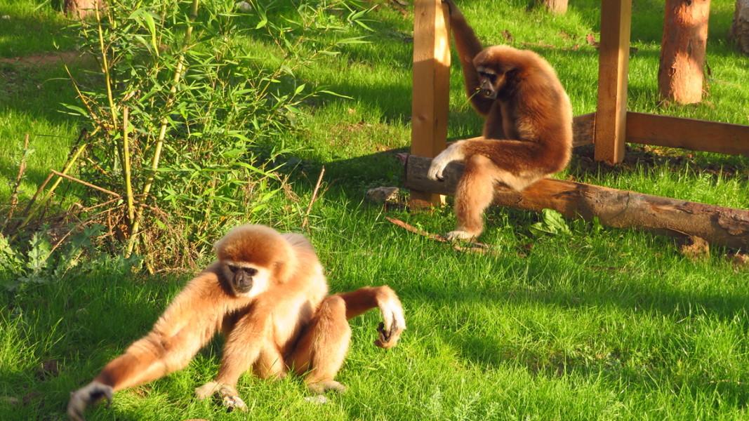 Двойка белогърби гибони         Снимка: Столичен зоопарк