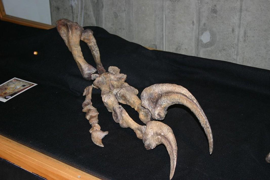 Преден крайник на мегараптор с характерния огромен нокът