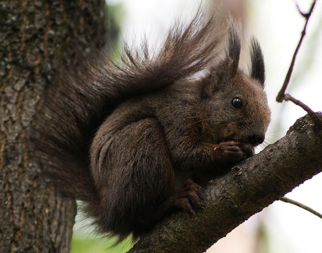 Eichhörnchen, Aufnahme: Dijan Jankulow