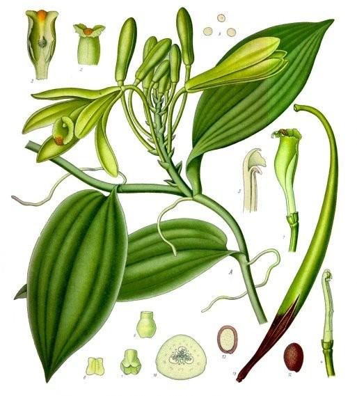 Орхидеята ванилия (Vanilla planifolia), илюстрация от Köhler's Medicinal Plants, 1887 г.