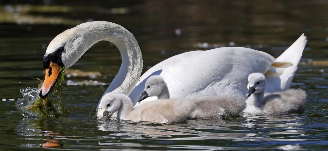 Немият лебед (Cygnus olor) е най-едрият представител на група Гъскоподобни.