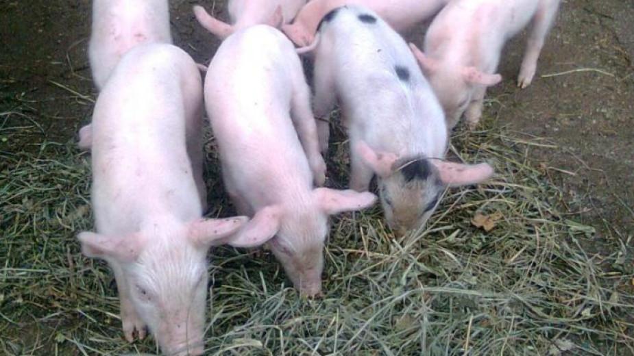 Сърбия потвърди случаи на Африканска чума по свинете