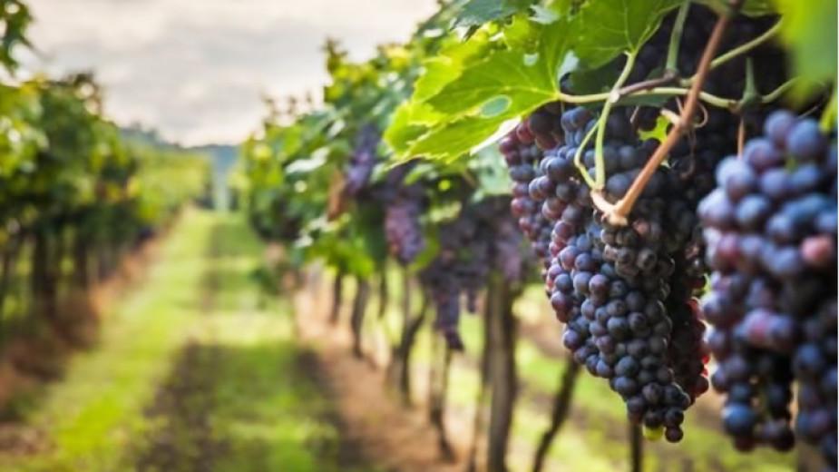 Прогнози за 30% по-добра реколта на гроздето в сравнение с миналата година - Икономика