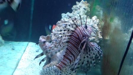 Една от най-отровните риби в света - риба скорпион