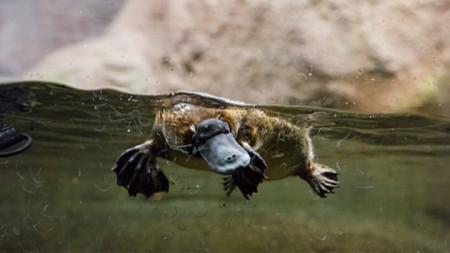 Птицечовката е единственият оцелял представител на семейство Птицечовкови и на рода Птицечовки.