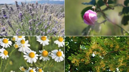 Auf der bulgarischen Exportliste stehen vor allem die Rose, der Lavendel, die Kamille und die Linde.