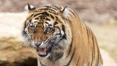 Суматрански тигър в зоологическа градина в Мелбърн, Австралия.