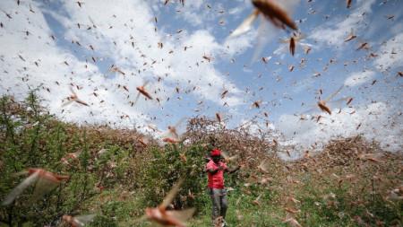 Нашествието на скакалци обхваща все по-големи части от Африка и Азия