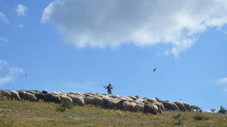 Стадо от почти изчезналата у нас каракачанска овца в района на адаптационната волиера на белия лешояд в ПП